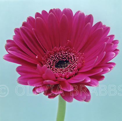 studio flower 